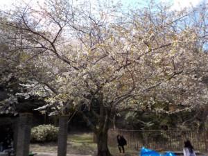 4月6日(日)にお花見バーベキューを行いました