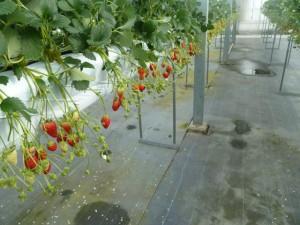 イチゴなっています